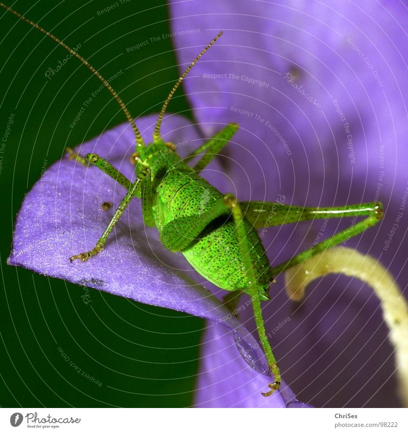Green Summer Animal Jump Blossom Legs Violet Insect Living thing Feeler Hop Flower Blossom leave Locust Northern Forest House cricket