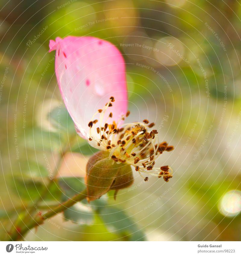 The last petal Blossom Rose Flower Spring Autumn Close-up Plant Bud