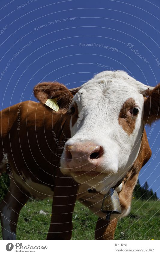Nature Blue Green White Summer Animal Mountain Grass Brown Beautiful weather Serene Cow To feed Farm animal