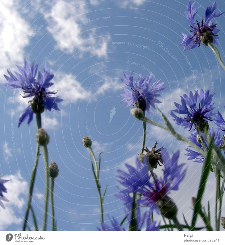 Blossoms and buds of cornflowers in front of blue sky with clouds Cornflower Flower Blossom leave Stalk Clouds White Field Roadside Summer July Blossoming Stand