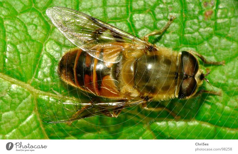 Green Summer Black Eyes Animal Yellow Wing Insect Bee Hover Wasps Northern Forest Hover fly Dipterous Articulate animals