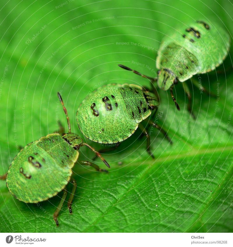 Green Summer Animal Insect Odor Northern Forest Bug Larva Green shieldbug