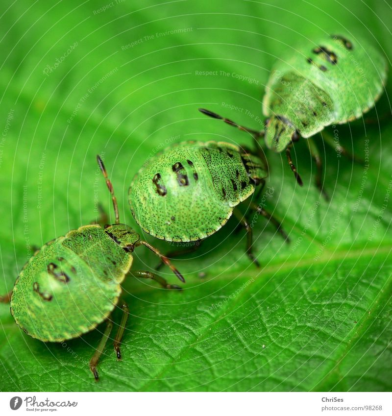 Green Summer Animal Insect Odor Northern Forest Bug Larva Green shieldbug