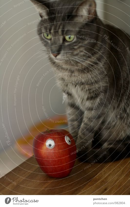 Cat with serious face sitting on a table. In front of her lies an apple with wobbly. Involuntary vegetarian apples Animal Pet 1 Sit Vegan diet personification