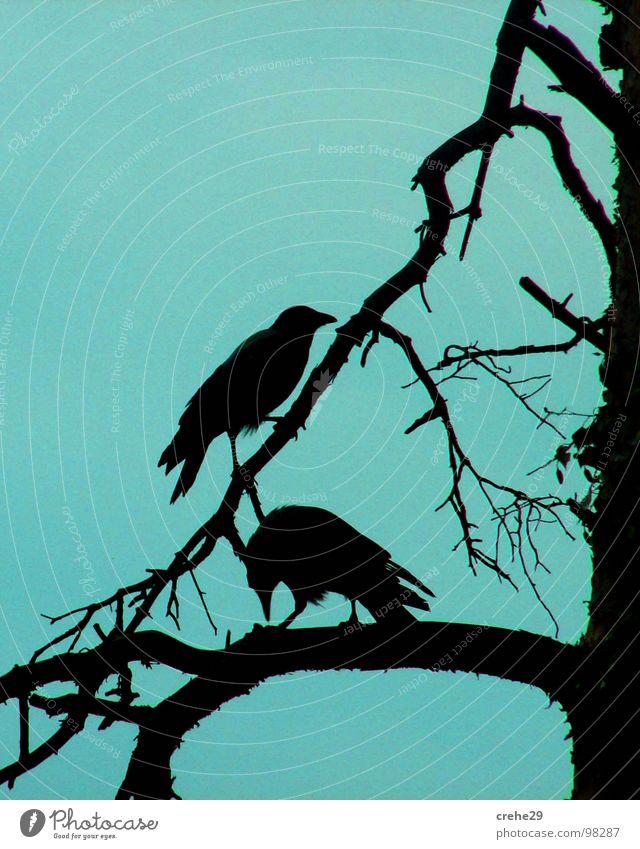 crehe Tree Black Bird crow creep Branch Blue Sky raven In pairs Pair of animals