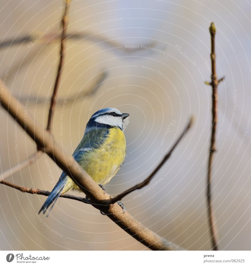 Blue Tit Environment Nature Animal Autumn Winter Beautiful weather Wild animal Bird 1 Yellow Tit mouse Colour photo Exterior shot Deserted Copy Space top Day