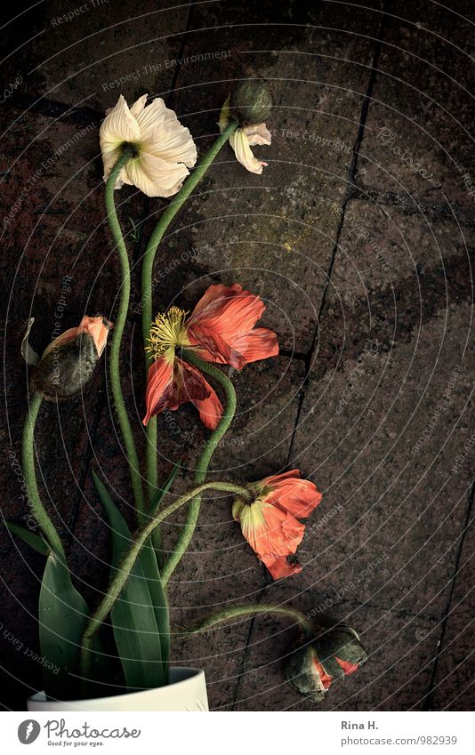 fallen Flower Poppy To fall Lie Authentic Fatigue Vase Paving stone Accident Still Life Colour photo Exterior shot Deserted Bird's-eye view