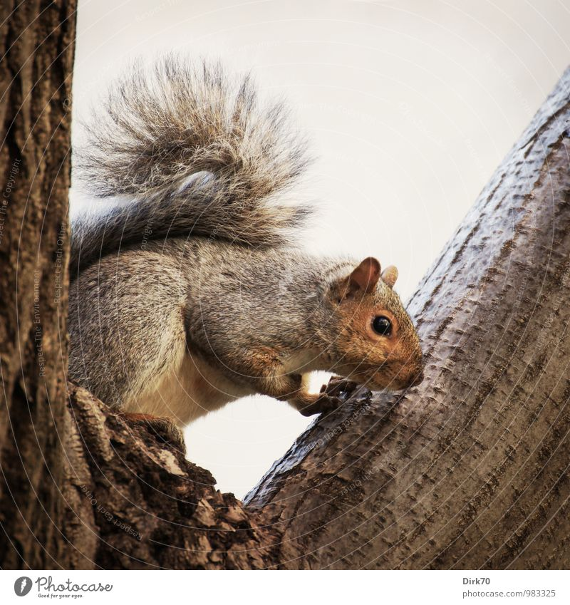 What's down there? Animal Clouds Tree Tree trunk Tree bark Branch Crutch Park Forest Montreal Canada North America Wild animal Squirrel Gray-haired 1 Wood