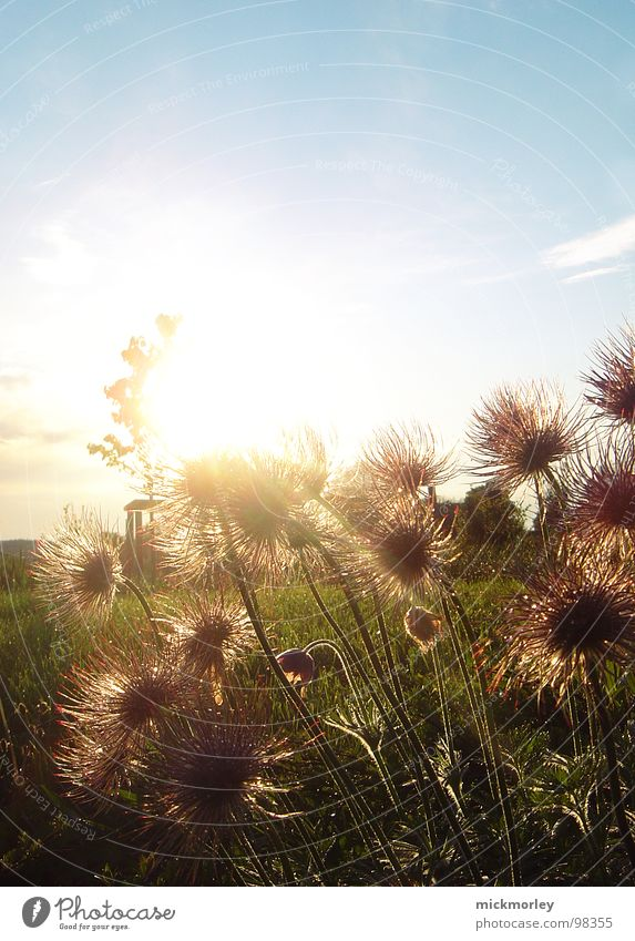 prickly flowers in the golden sun Flower Meadow Green Field Bushes Stalk Thorn Aperture Red Clouds Fresh Breeze To go for a walk Summer Sun Happiness Physics