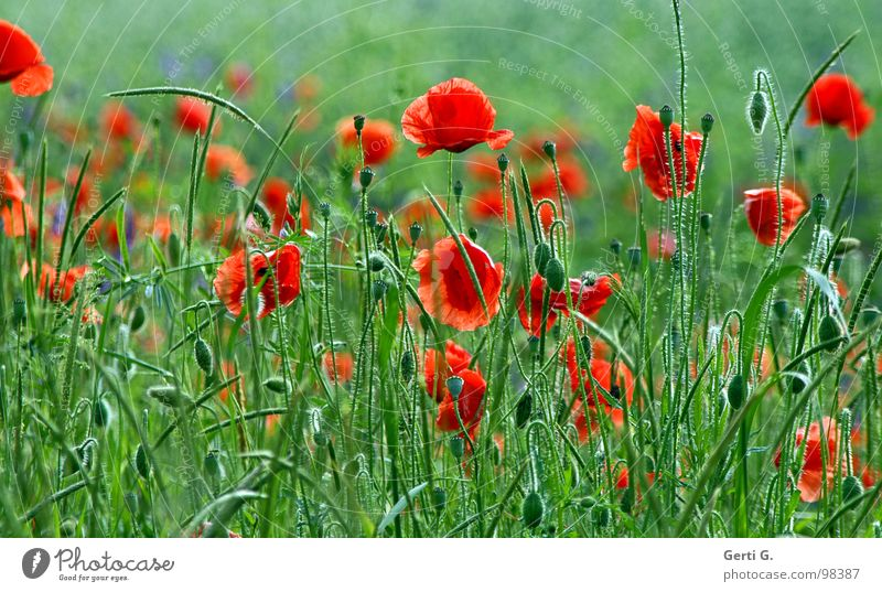 Nature Green Red Summer Blossom Spring Wind Fresh Multiple Open Delicate Blossoming Poppy Bud Beautiful weather