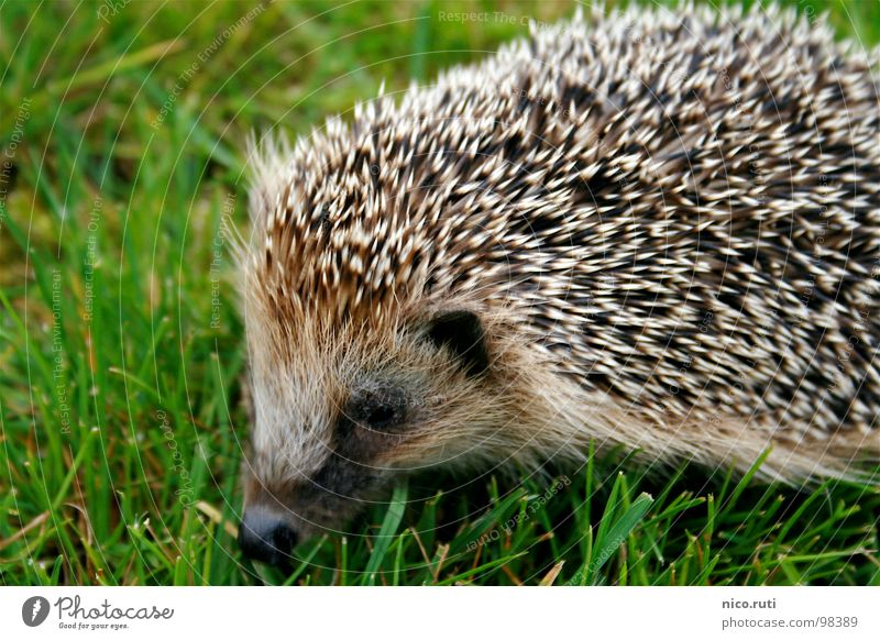 pincushions Hedgehog Animal Meadow Odor Snout Mammal curl To hibernate nocturnal Spine