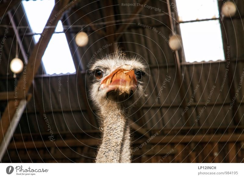 Franz Joseph Animal Farm animal Zoo Petting zoo Ostrich 1 Feeding Fight Aggression Threat Crazy Wild Anger Fear Voracious Adventure Aggravation Curiosity
