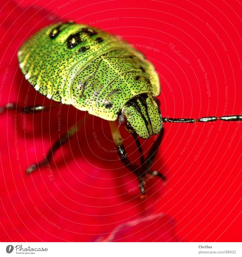 Green Red Animal Blossom Fear Insect Odor Panic Blossom leave Northern Forest Bug Larva Hollyhock Green shieldbug