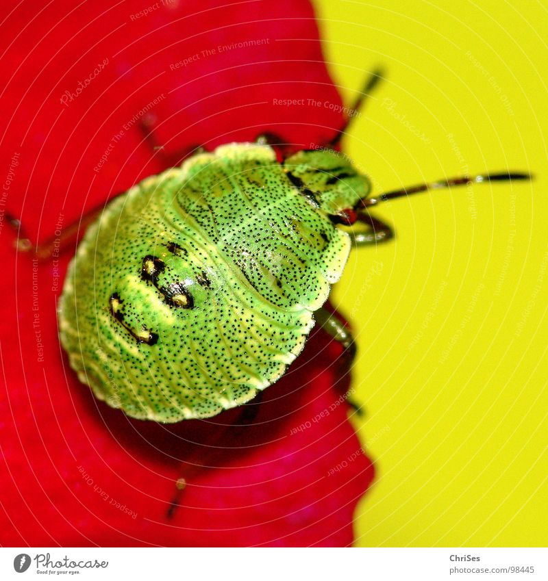 Green Red Summer Animal Yellow Blossom Insect Odor Blossom leave Northern Forest Bug Larva Hollyhock Green shieldbug