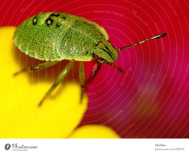Green Red Animal Yellow Blossom Fear Insect Odor Panic Blossom leave Northern Forest Bug Larva Hollyhock Green shieldbug