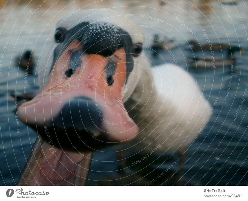 schnappi Swan Beak Beg Feeding Lake Evil Avaricious Bird Set of teeth Water Aggression Bird's head Animal face Animal portrait Macro (Extreme close-up)