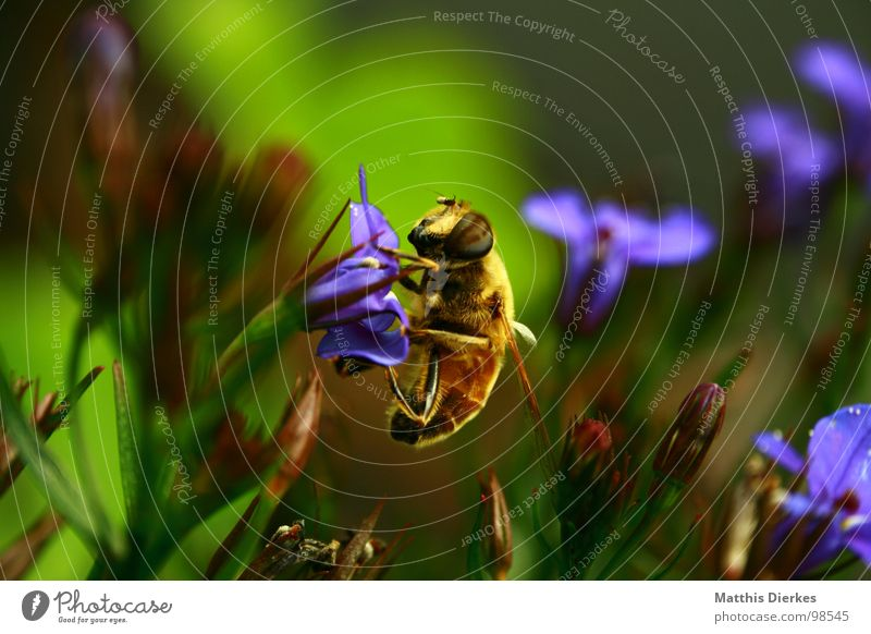 BUSY AS A BEE Bee Insect Wasps Hornet Animal Blossom Flower Nutrition Drinking Collection Diligent Work and employment Provision Look after Background picture