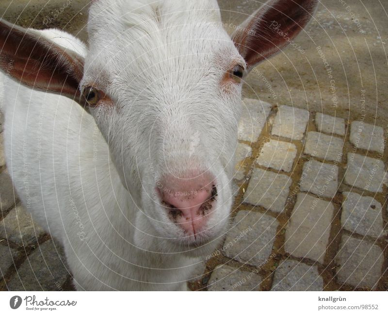 Stroke me! White Goats Animal Zoo Longing Leisure and hobbies Petting zoo Pelt Beautiful weather Pink Cute Even-toed ungulate Joy Mammal Summer Eyes Nose Ears