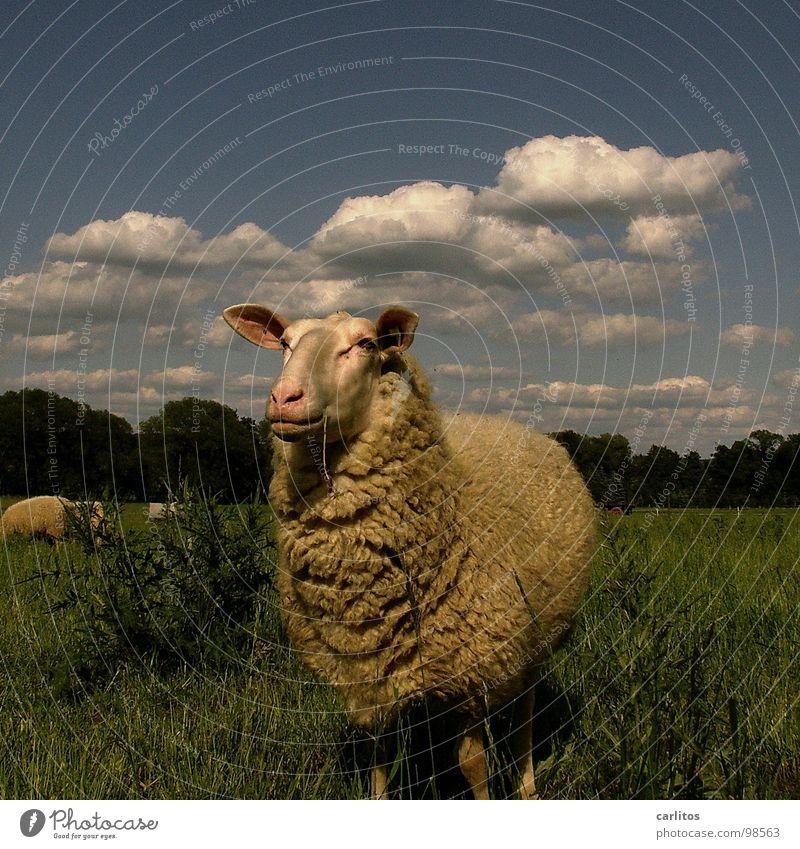 Beautiful Summer Calm Happiness Cute Observe Pelt Idyll Animal face Pasture Sheep To enjoy Blade of grass To feed Harmonious Mammal