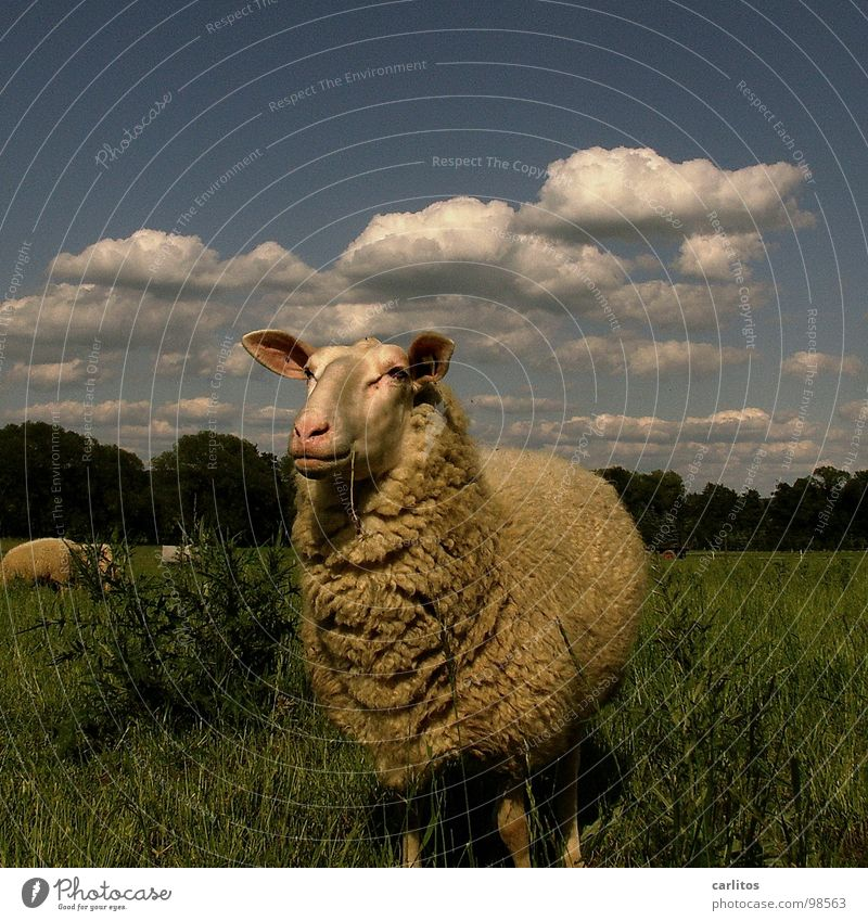 World of health Sheep Lacaune sheep Wool Pelt Adhere to New wool Beautiful Harmonious Happiness Cute Comical Blade of grass Summer Mammal Observe To enjoy Chew