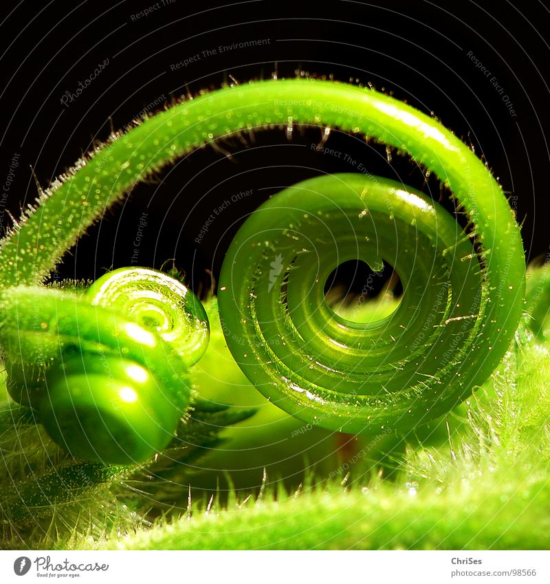 Green Plant Spiral Bud Botany Coil Pumpkin Tendril Vegetable Loop Creeper Rolled Dark background Light green