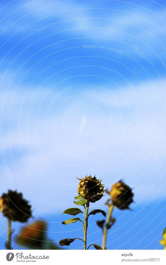 Sky Old Plant Summer Flower Clouds Yellow Autumn Field Harvest Sunflower Limp Faded Thanksgiving