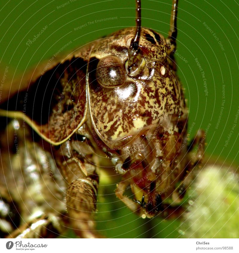 Green Summer Eyes Animal Jump Brown Insect Living thing Feeler Locust Normal Northern Forest House cricket