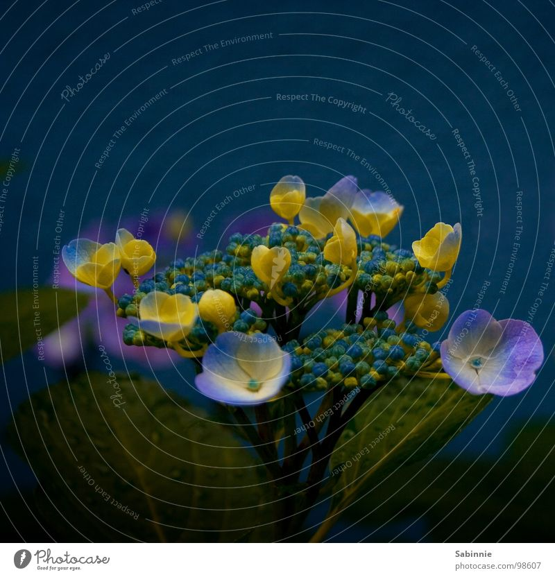 Water Flower Blue Plant Yellow Blossom Rain Drops of water Bushes Violet Hydrangea