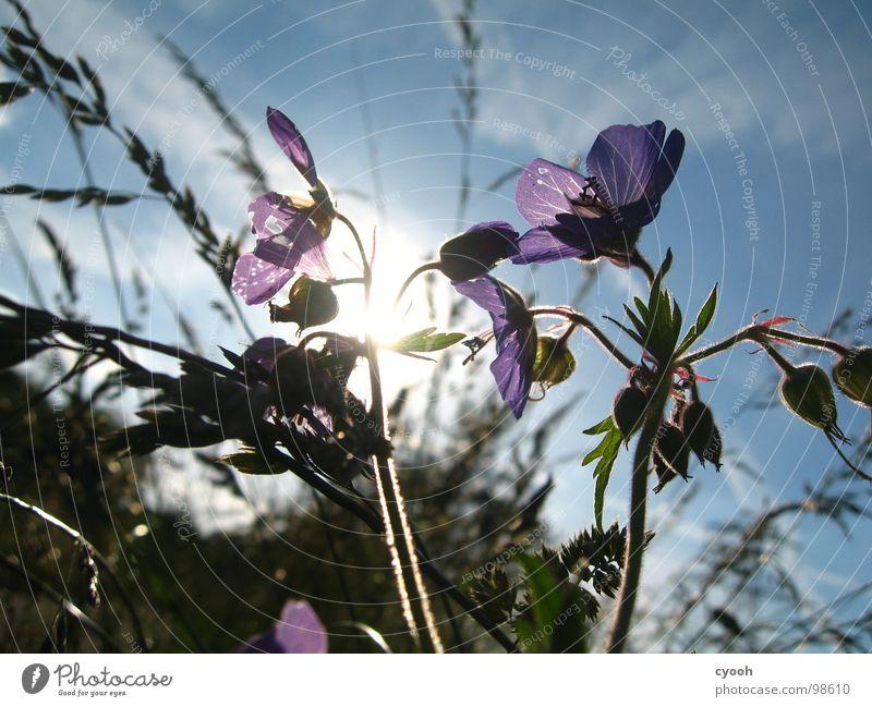 Beautiful Sky Sun Flower Blue Summer Meadow Blossom Grass Warmth Violet Physics Dusk Meadow flower Geranium Geranium pratense