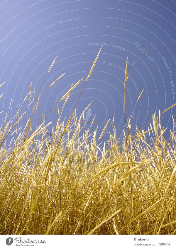 Field of straw Sky Peace Yellow Dance floor Blaze Wheat Straw Calm Air Plant Floor covering blue sensibility calmness the sun plan floors freedom Sensitive