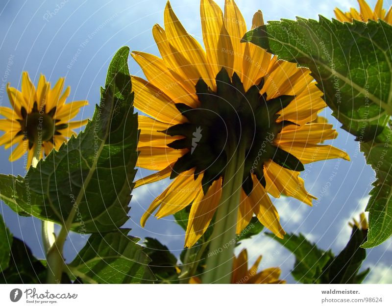 Sky Sun Flower Green Blue Summer Yellow Blossom Garden Upward
