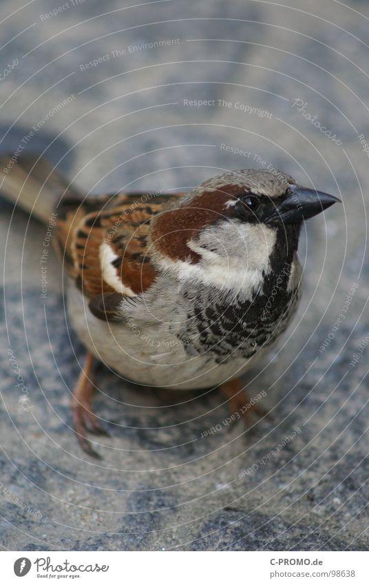 Small Bird Brown Feather Cute Curiosity Animal face Beak Sparrow Animal Sparrow Be confident