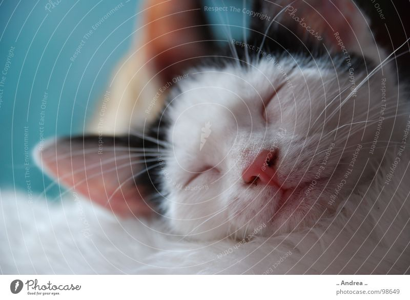Little Emma Contentment Relaxation Ear Nose Mouth Pelt Cat Sleep Whisker Rest Mammal putty Colour photo