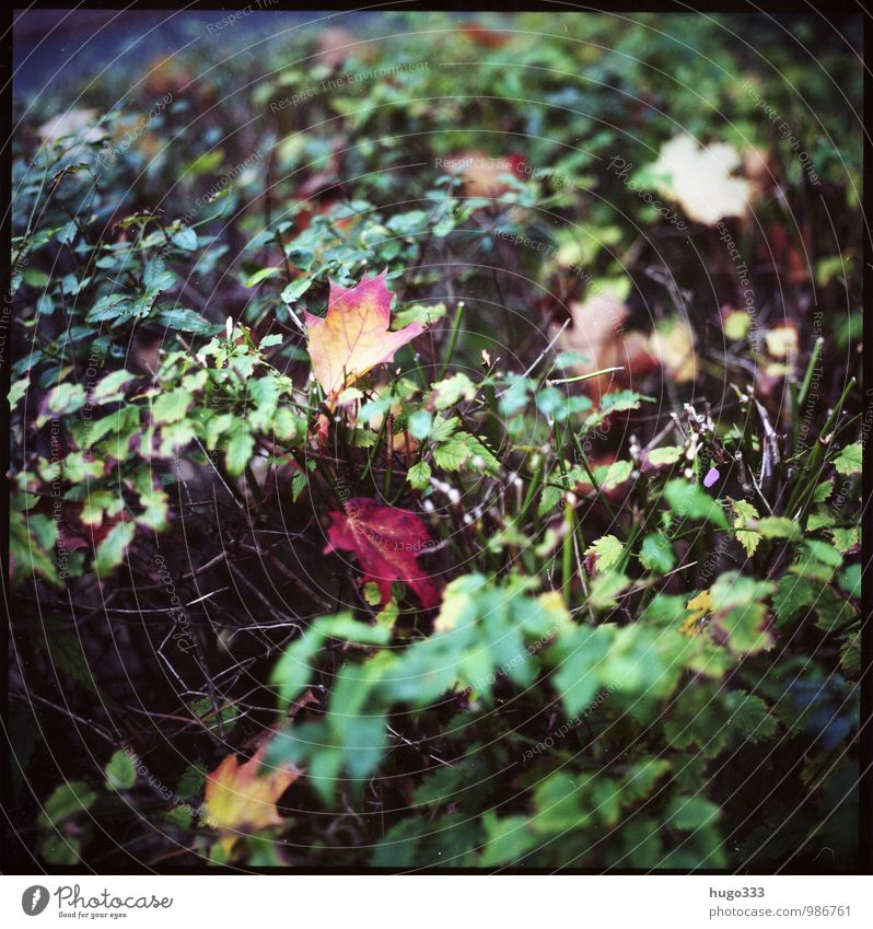 Autumn Environment Nature Plant Bushes Leaf Foliage plant Garden Park Faded To dry up Old Retro Gloomy Dry Yellow Green Red Grief Autumnal Autumn leaves
