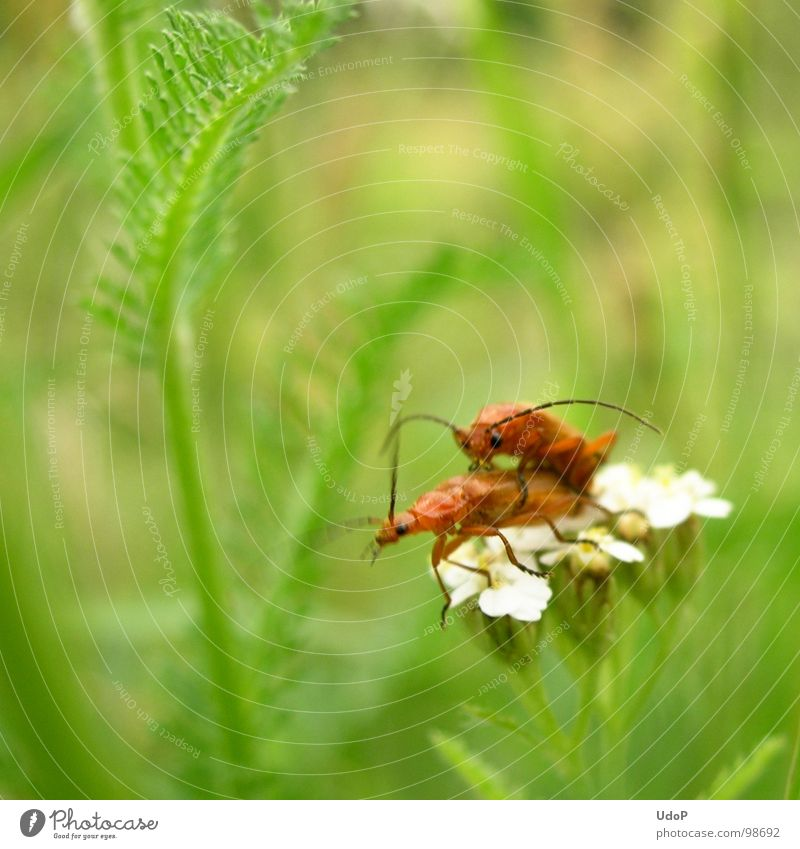 The love life of the red-yellow soft beetles (hold still) Green Red Yellow White Blossom 2 Blur Depth of field Motion blur Meadow Macro (Extreme close-up)