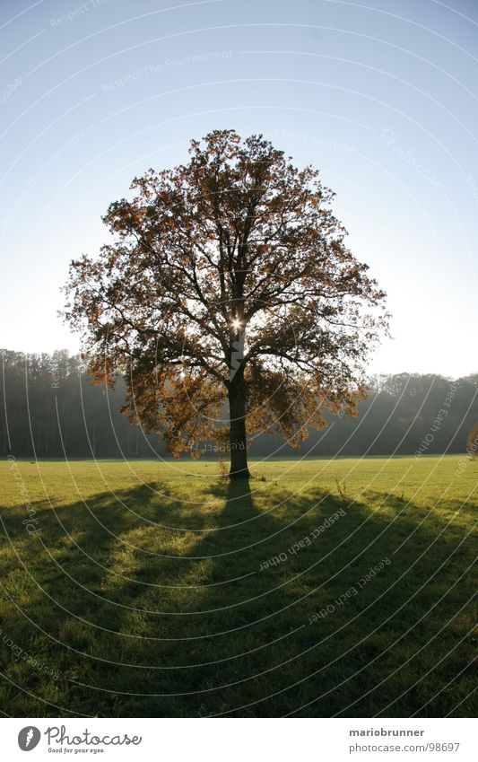 pretty lonely Tree Meadow Deciduous tree Loneliness Light Treetop Oak tree Autumn Shadow Sun Blue sky loner