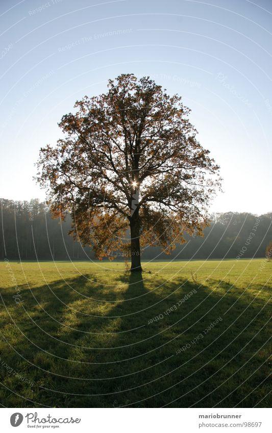 Tree Sun Loneliness Autumn Meadow Treetop Blue sky Oak tree Deciduous tree