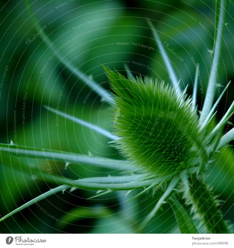 Nature Green Beautiful Plant Field Growth Point Pain Thorn Pierce Thorn Thistle Wayside
