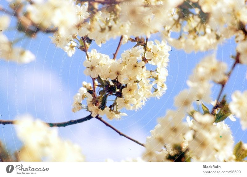 Tree Joy Blossom Beautiful weather Cherry Blue sky