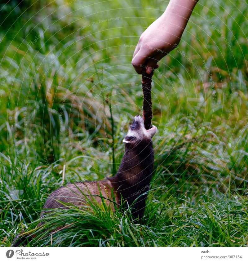 petty larceny Meat Eating Arm Hand Plant Grass Meadow Field Animal Wild animal Pelt Marten Western polecat mink Rodent 1 To feed Feeding Playing Cute Green