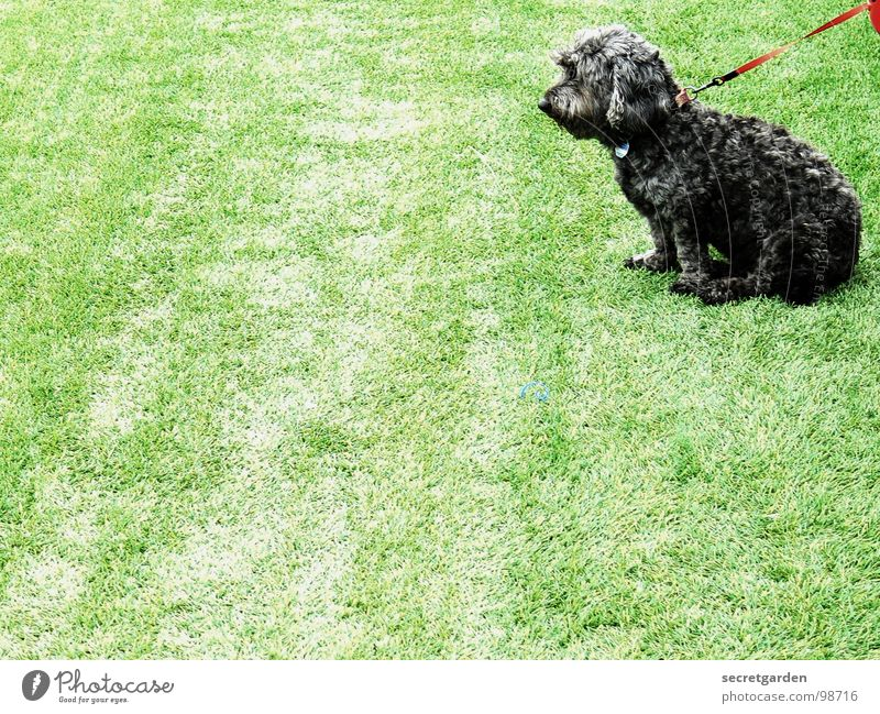 exciting game Playing field Artificial lawn Dog Animal Green Sporting grounds Poodle Gloomy Red Black Dog tag Silhouette Crossbreed Paw Lop ears Boredom