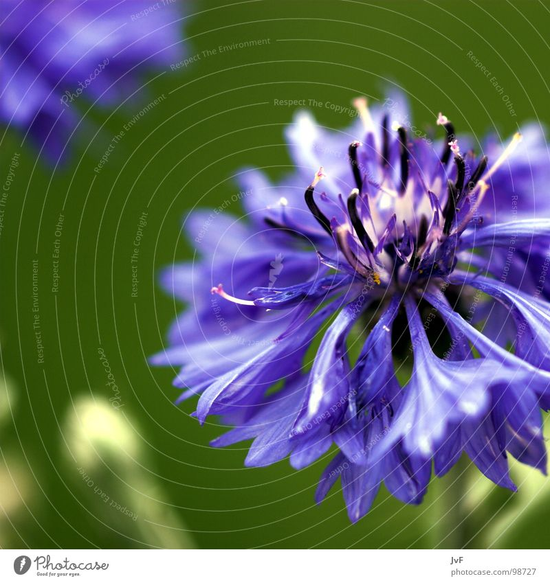 Flower Green Life Spring Happy Growth Violet Blossoming Salutation Wake up Cornflower Bang