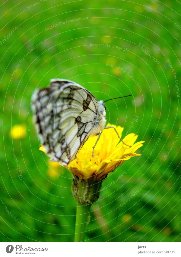 Summer Meadow Grass Wing Butterfly Dandelion Flower meadow