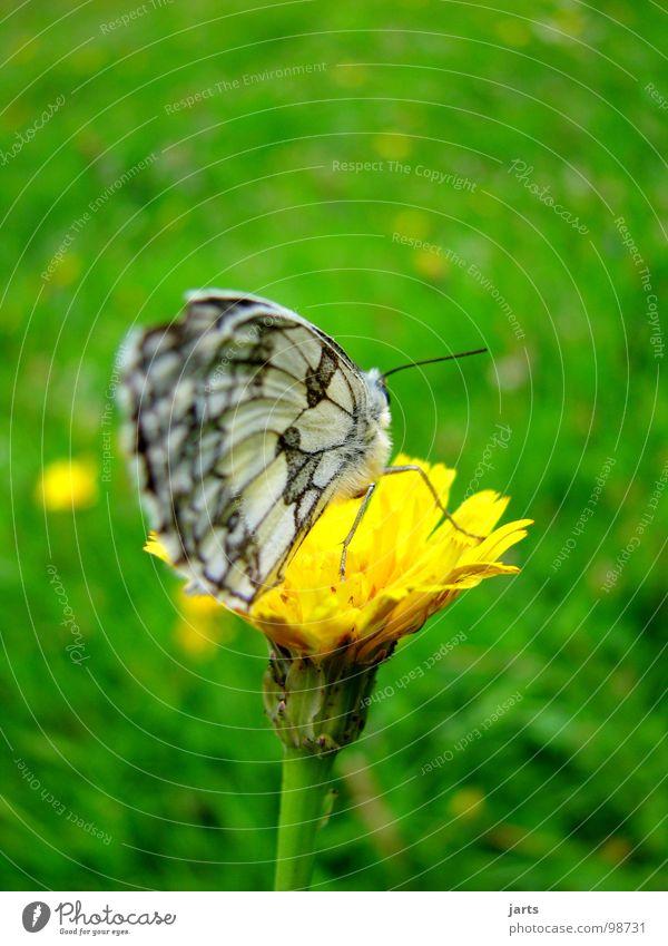 Summer Meadow Grass Wing Butterfly Dandelion Flower meadow