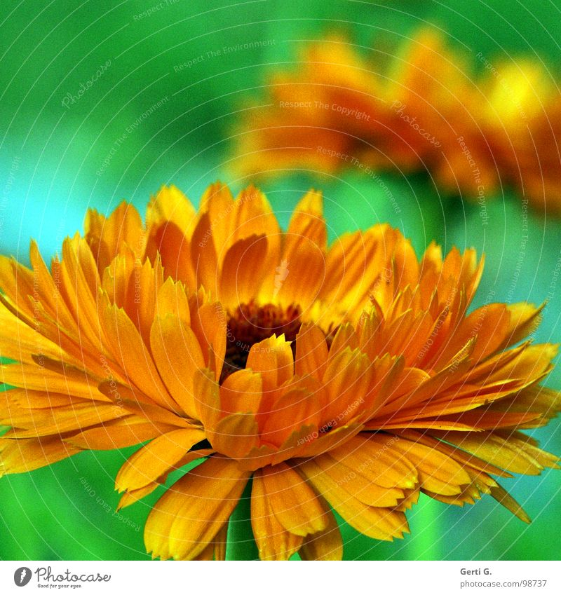 beautiful colours Gaudy Botany Plant Lance Multicoloured Blossom Green Bilious green Orange Deep yellow Flashy Crazy Garden plants Marigold Daisy Family