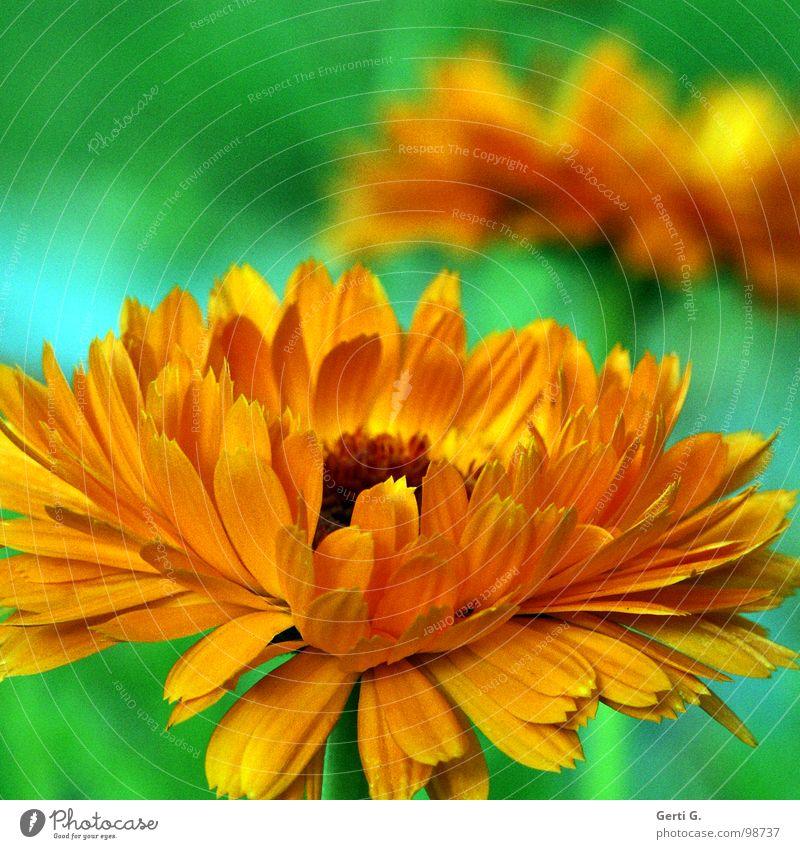 Nature Green Plant Flower Yellow Blossom Orange Crazy Cosmetics Botany Cream Flashy Daisy Family Gaudy Medicinal plant