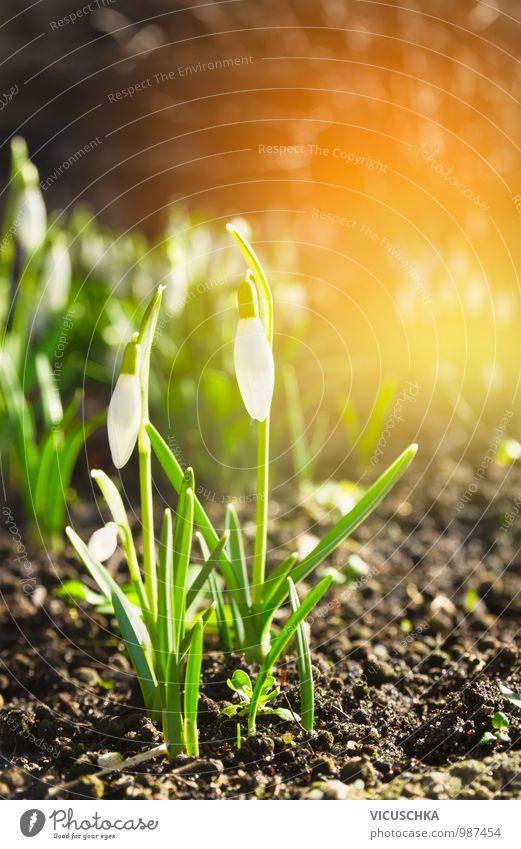 first wild snowdrops in spring garden Design Garden Environment Nature Plant Sun Sunrise Sunset Sunlight Spring Beautiful weather Flower Park Forest Snowdrop