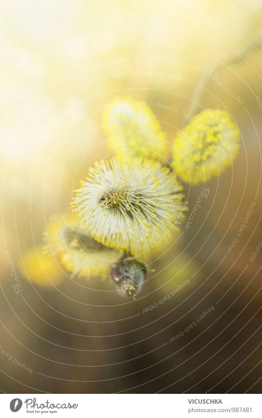 yellow willow catkin in sunlight Design Garden Environment Nature Plant Sunlight Spring Beautiful weather Blossom Wild plant Park Forest Catkin March April Blur