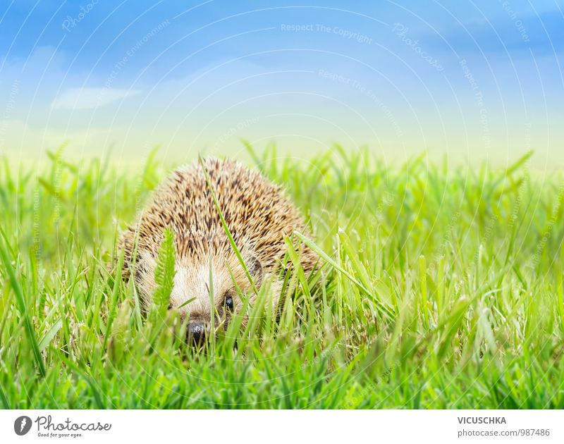 Young hedgehogs in the grass Design Garden Baby Nature Plant Animal Sky Horizon Spring Summer Beautiful weather Park Meadow Field Wild animal 1 Hedgehog Grass