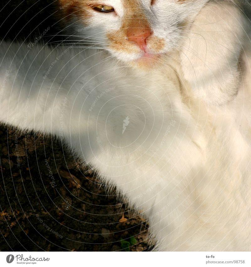 Animal Cat Pelt Mammal Paw Domestic cat Comfortable Moustache Indifferent Caress
